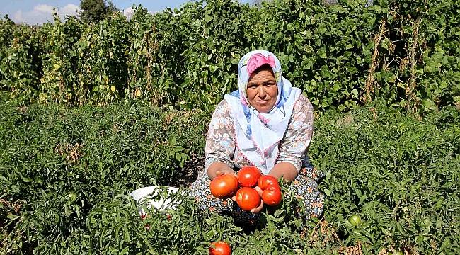 Karşıyaka'da Yamanlar Domatesi için çalışmalar başlatıldı!
