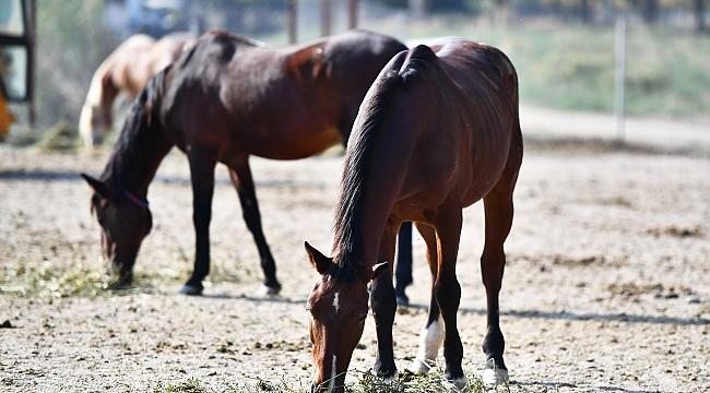 Faytonlardan kurtarılan atlar Doğal Yaşam Parkı'nda