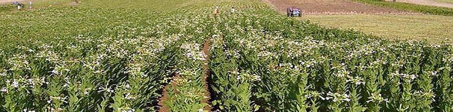 Virginia tütün üretimi Ege Bölgesi'nde de başlıyor